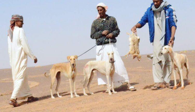 صيد الأرانب في السودان
